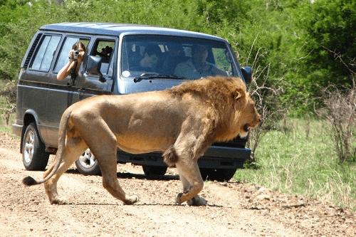 kruger lion 011.png
