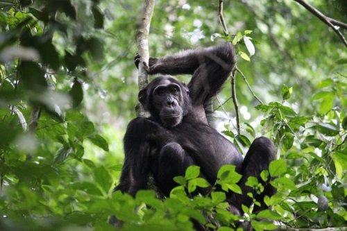 chimp trekking murchison falls 001.jpg