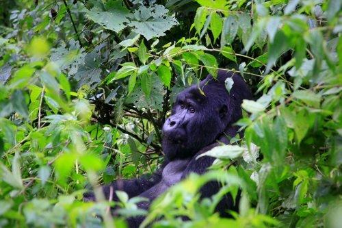 gorillas 001.jpg