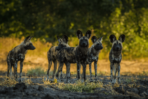 zambezi expeditions wilde honden.png