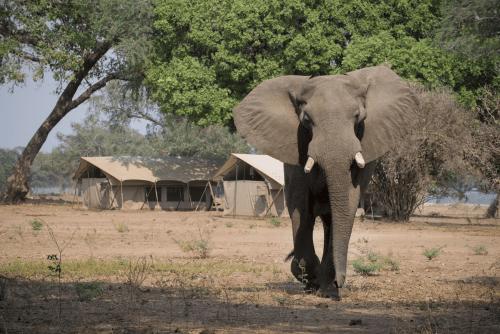 zambezi expeditions olifant loopt door kamp.png