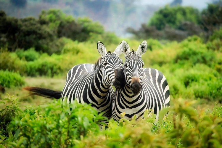 lake mburo zebra.jpg