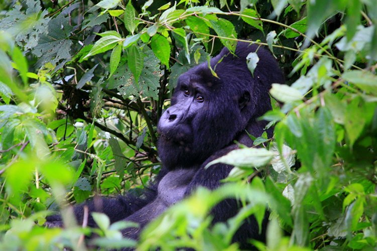 gorilla oeganda trekking.jpg