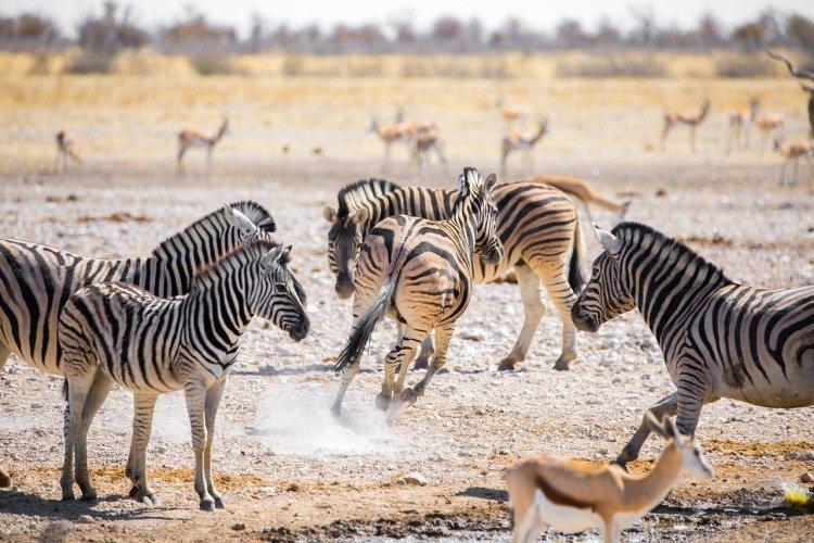 zebras etosha np.jpg