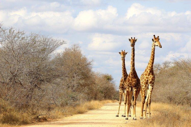 wandelreis zuid-afrika south africa giraffe.jpg