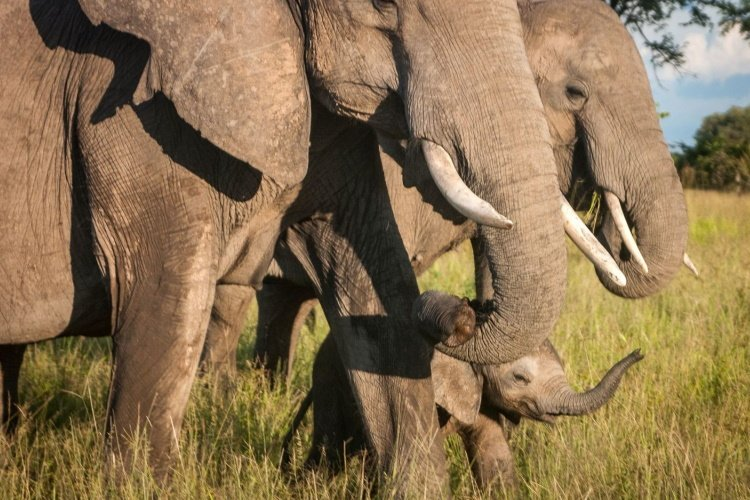 south luangwa national park olifanten.jpg