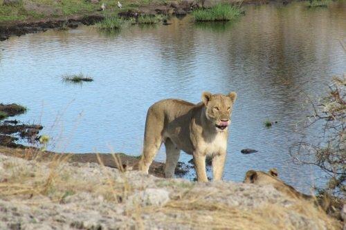Lion Moremi NP