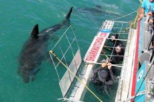 Kooiduiken met witte haaien